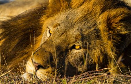Leeuwen fotograferen in Zuid Afrika fotoreis