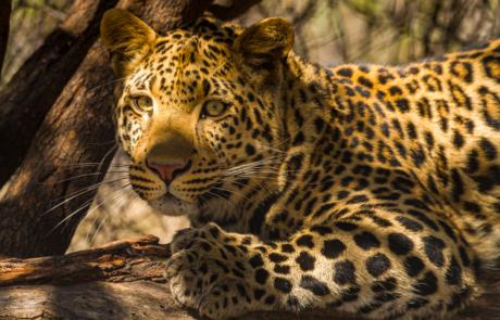 Luipaard fotograferen in Zuid Afrika Big Five