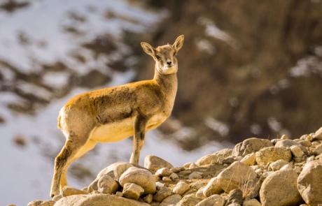 Ladakh natuurfotografie dierfotografie Wildlife